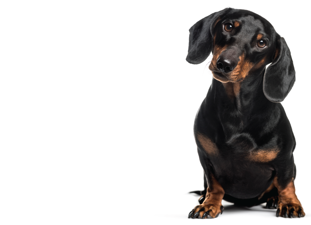 //www.thedogden.co.nz/wp-content/uploads/2019/10/dachshund-e1570594394788.png
